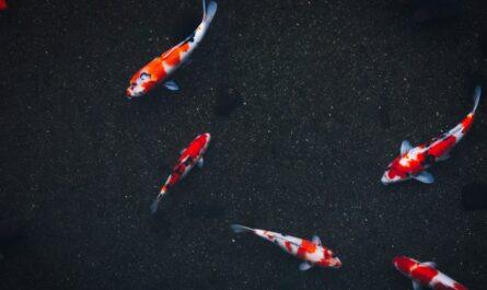 Zahradní jezírko, ve kterém plavou barevné ryby.